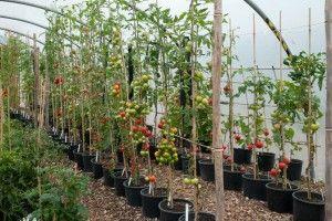 vyrashhivanie-pomidorov-v-teplitse-2
