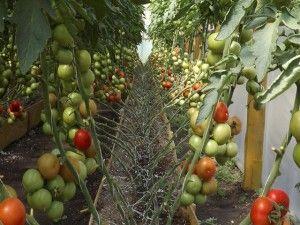 vyrashhivanie-pomidorov-v-teplitse-3