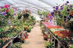 Выращивание хризантем в теплице бизнес план 80
