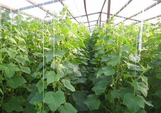 Никольского выращивание огурцов в теплице рентабельность котором