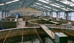 razvedenie-ribi-3