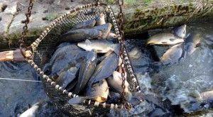 razvedenie-ribi-4