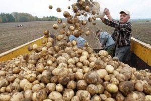 vyirashhivanie-kartofelya-kak-biznes-4